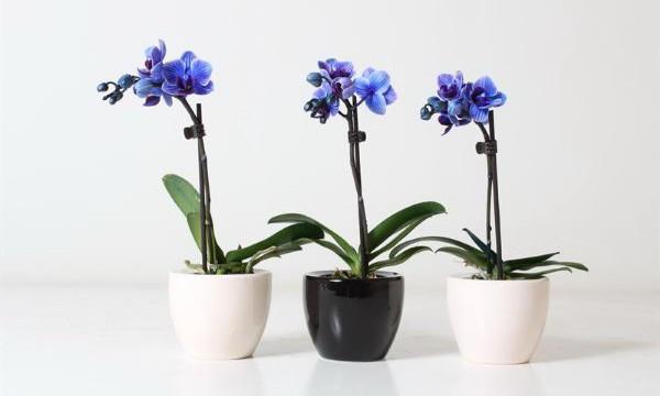 Бережная пересадка орхидеи фаленопсис в домашних условиях