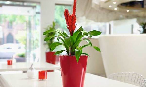 Растение, которое цветет до конца своей жизни. Уход за гузманией