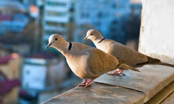 Как избавиться от голубей на балконе? Выгоняем нежеланных гостей!