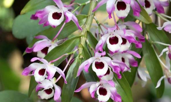 Орхидея дендробиум нобиле. Правильний уход в домашних условиях