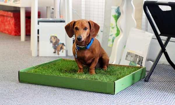 Как приучить щенка ходить на лоток или пеленку за несколько дней?